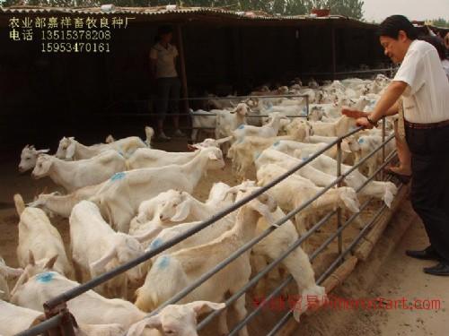 供波尔山羊(母羊)