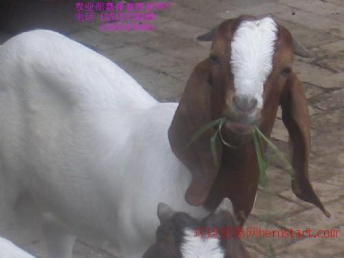 供纯种克隆波尔山羊1岁(公羊)