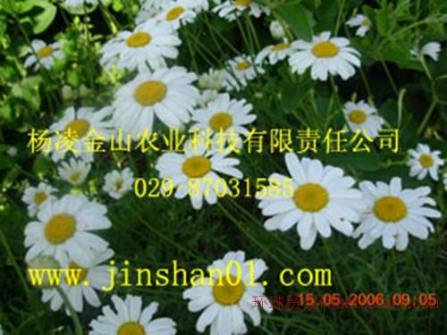 除虫菊种子