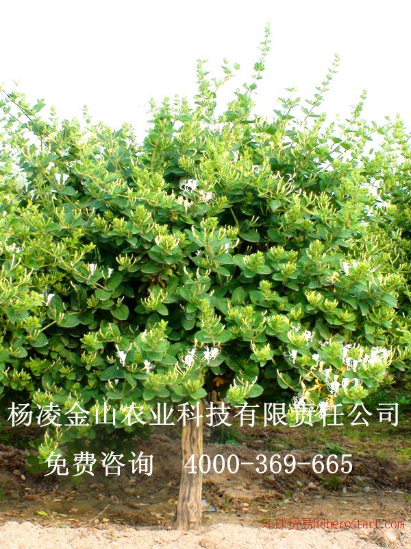 金银花 树型金银花苗