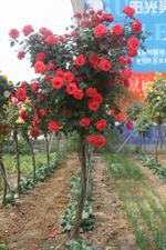 奥运花卉树状月季