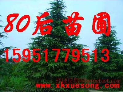南京雪松为什么这么便宜3米雪松4米雪松5米雪松价格