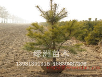 优质樟子松,绿洲苗圃专业出售!