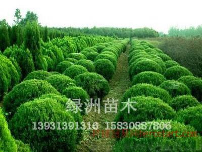 绿洲苗圃场为您提供优质水腊,质优价低来看看