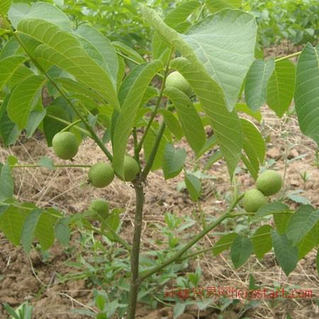 优质核桃苗,桃树苗,梨树苗,苹果苗,钙果苗