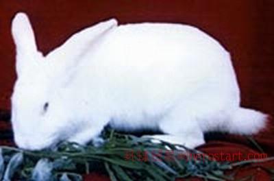 实验兔、新西兰白兔