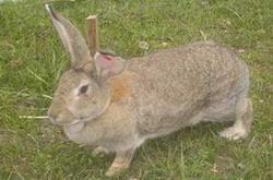优质比利时野兔