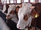 肉牛,养殖,牛,奶牛,奶牛场,高产奶牛,育成牛,肉牛养殖,西门塔尔牛,