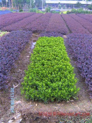 袋苗地栽苗批发|杜鹃工程苗|湖南杜鹃地栽苗|一年小苗农户批发