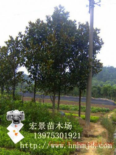 2012湖南地区广玉兰野生资源丰富,广玉兰价格更是一路飙升