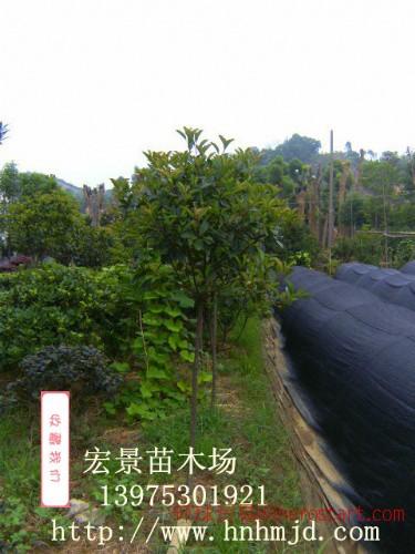 宏景湖南高干红叶石楠基地 批发2万棵3-4-5公分湖南高干红叶石楠苗木