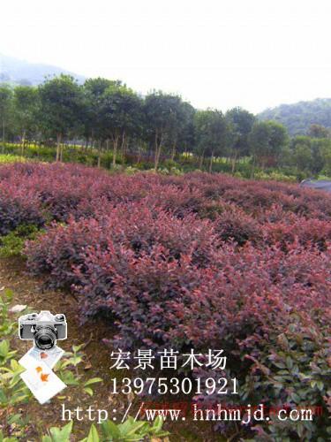 树桩盆景特卖区|500万湖南红花继木小苗批发|红花继木盆景|红花继木树桩-小苗批发