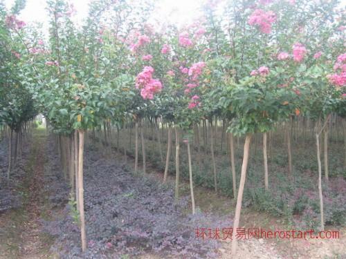 四川造型苗木基地专业批发造型榆树 造型罗汉松 农户直销