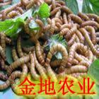 黄粉虫产业化发展