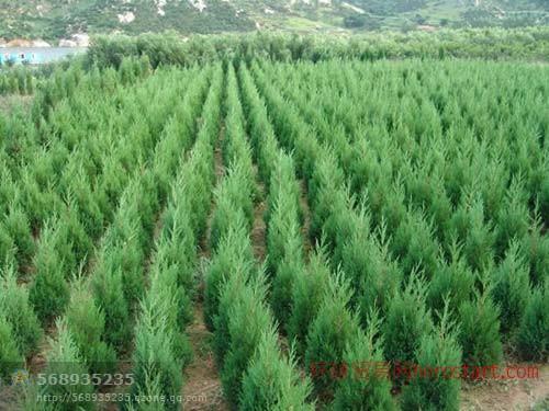宝塔形蜀桧1-3米长江雪松苗圃
