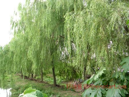 8公分柳树垂柳长江苗圃