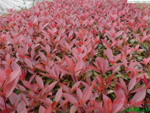 红叶石楠20公分冠径大,叶片颜色好!