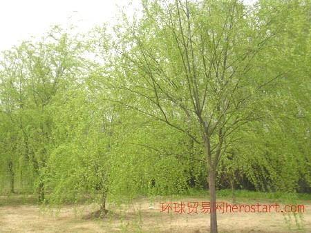 5公分柳树垂柳春季销售长江苗圃