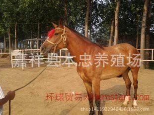 许昌养马场提供养马技术和新的骑乘马 矮马 旅游马  伊犁马价格