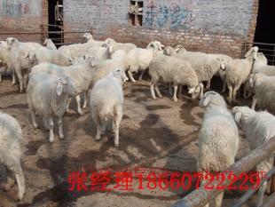 纯种的小尾寒羊吃什么草 墨西哥玉米多少钱一斤