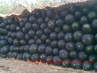 5000万斤冬瓜批发冬瓜出售东台冬瓜-东台绿农蔬菜合作社