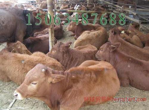 买利木赞牛犊牛去哪里 买三元杂交牛去哪里19号