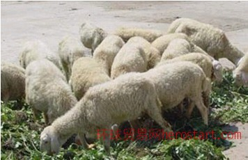 小尾寒羊去哪里买 牛羊养殖首选山东万隆牧业