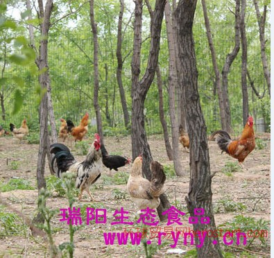郑州散养柴鸡