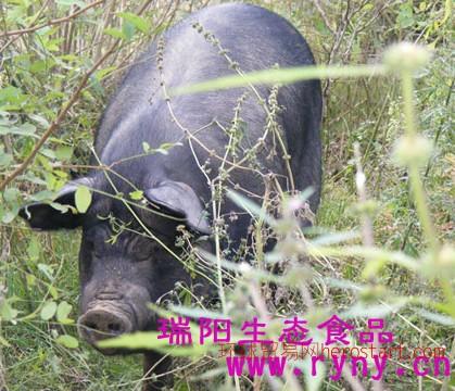 郑州高山散养黑土猪