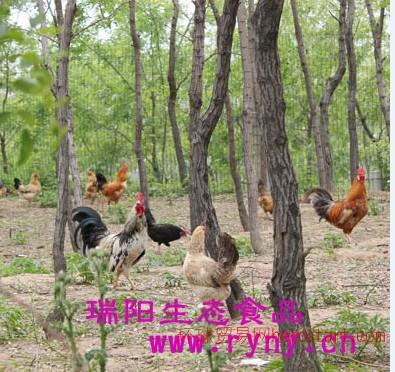 郑州高山散养柴鸡