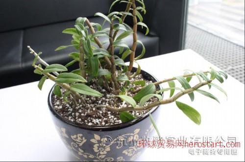 牧歌鐵皮石斛盆栽
