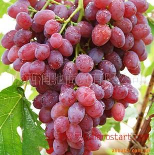 西安水果网-新鲜果巢,专业水果连锁超市打造西安地区水果连锁品牌 供应红提
