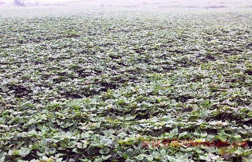 河南红薯,河南红薯基地,河南紫红薯批发