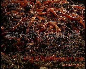 优良品种地蟮 蚯蚓 蚯蚓粪