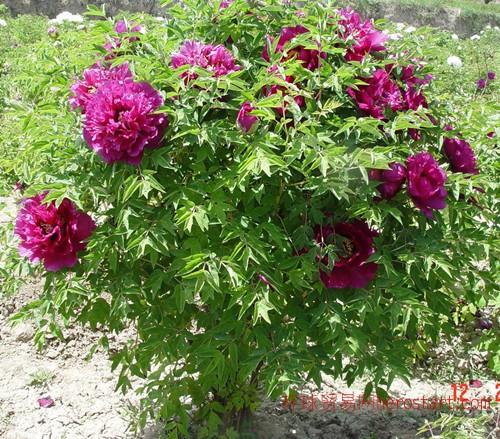 甘肃紫斑牡丹