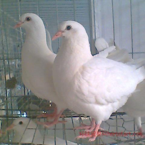 青岛地区肉鸽养殖场种鸽养殖基地良种鸽子推广