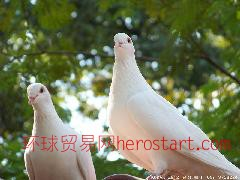 平度肉鸽养殖场肉鸽良种推广基地