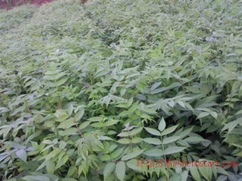 重庆红油香椿苗