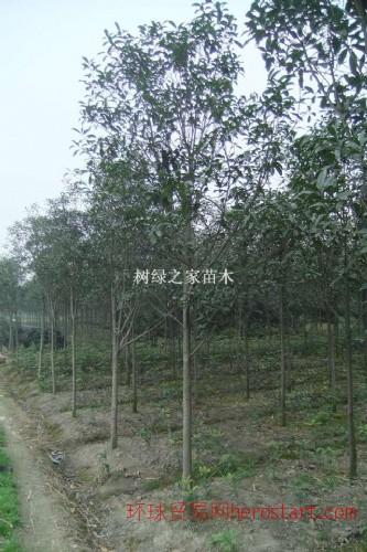 桂花树 |桂花树哪里好|桂花树价格