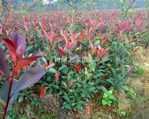 江津优质红叶石楠苗木培育,树绿之家苗木