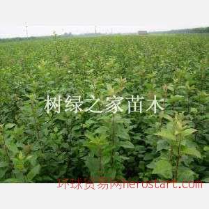 重庆优质良种板栗苗,板栗苗木低价出售