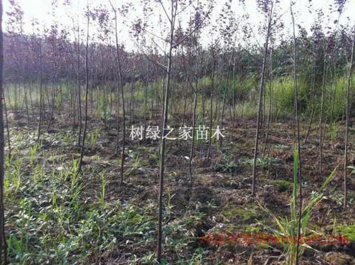 江津红叶李苗木原产地直销,红叶李好培育基地