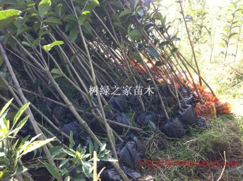 低价处理优质2-3公分桂花树