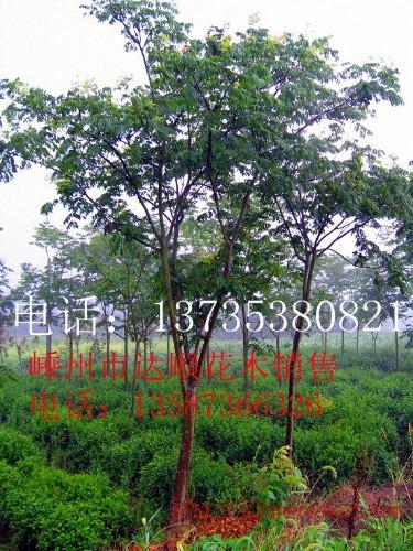 大量提供 10cm-25cm的黄山栾树,树形饱满,