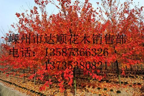 大量提供 3cm-13cm的美国秋火焰,美国红枫,树形饱满,