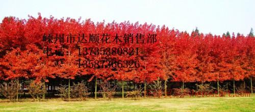 大量提供紫玉兰,红玉兰5cm-25cm紫玉兰价格表