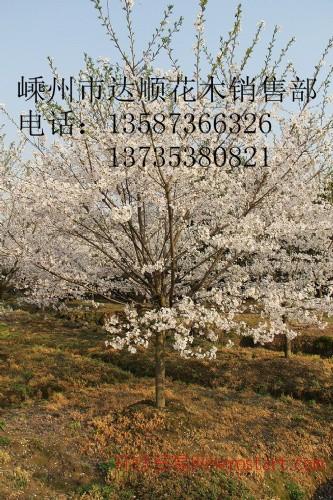 大量提供 3cm-22cm的日本樱花,日本樱花价格表