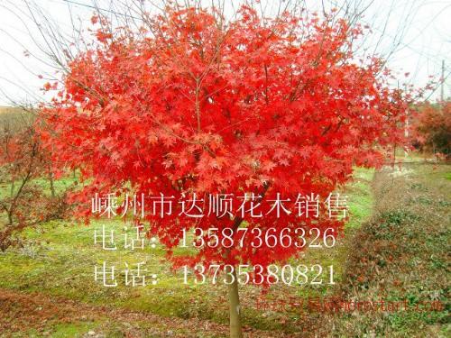 鸡爪槭7cm-20cm,质量