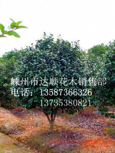 精品茶花p80-p300,质量