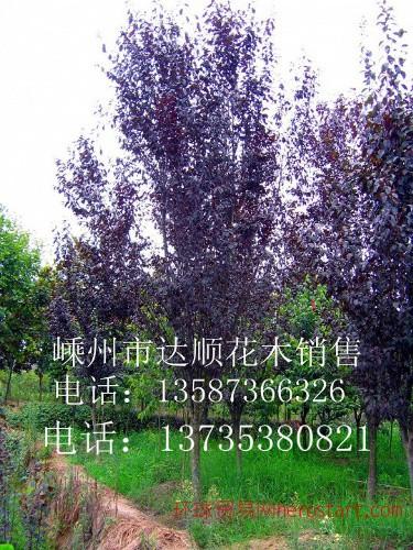 红叶李,垂丝海棠,西府海棠D4cm-14cm ,
